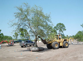 Oak Transplant with Loader